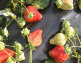 Strawberry Fruit Seeds 100 seeds - Lovely Seeds