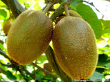 Kiwi - Thailand Mini Kiwi 40 Seeds Small Fruit Tree - Lovely Seeds