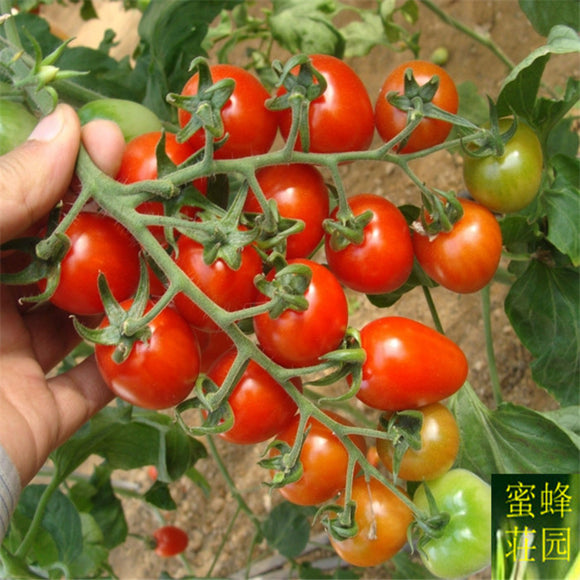 Mini Tomato 100 seeds - Lovely Seeds
