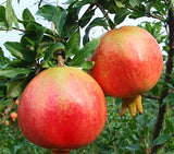 Pomegranate seed 30pcs - Lovely Seeds