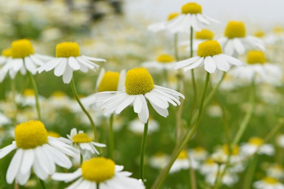 Camomile flower seed 100pcs - Lovely Seeds