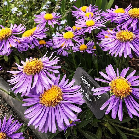 Alpine Aster seeds 40 pcs - Lovely Seeds