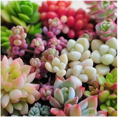 Succulent  Lithops Pseudotruncatella Seeds Mixed 100pcs - Lovely Seeds