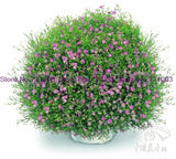 Aromatic Gypsophila Flower True Potted Gypsophila Paniculata 50pcs - Lovely Seeds