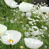 Cosmos Cupcakes bipinnatus White 15 seeds - Lovely Seeds