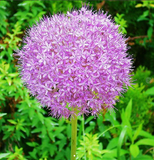 Giant Onion Seeds 100pcs Allium Giganteum - Lovely Seeds