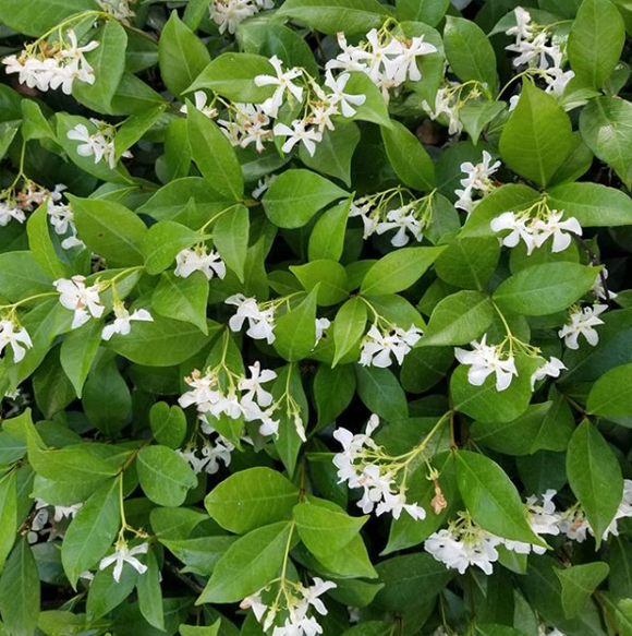 Jasmine White Flowers Fragrant House Plant 50 Seeds - Lovely Seeds