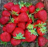 Organic Container Jewel Strawberry 315 Seeds + 1 Free Plant Marker - Lovely Seeds