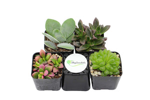 Succulents Collection of 4, 12, 20 - Lovely Seeds