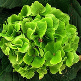 Geranium Seeds 10pcs Two-color Univalve Perennial Flower Seeds - Lovely Seeds