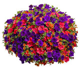 Petunia seeds 100pcs perennial hanging flowers - Lovely Seeds