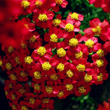 Achillea millefolium New Fresh Seeds Flower Yarrow Seeds 100pcs/Pack Garden bonsai - Lovely Seeds