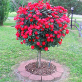 Rose Tree Aromatic Pleasant-Smelling Fragrant Bonsai Tree Flower Seed 100pcs - Lovely Seeds