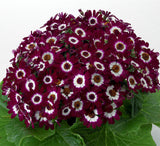 Pericallis Hybrida Aster Flower 100pcs Bonsai Rainbow Chrysanthemum Perennial - Lovely Seeds