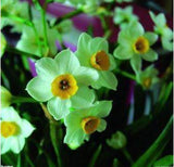 Narcissus Seeds 200pcs Potted Plants Bonsai Seeds For Home Garden - Lovely Seeds