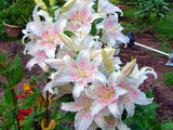 Lily flower Seeds 50pcs - Mixed - Lovely Seeds