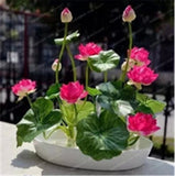 Lotus Flower Hydroponic Aquatic Plants Bowl Lotus Seeds Water Lily Plant for Mini Garden 1pc/pack - Lovely Seeds