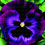 Mexican pansy flores Wavy Viola Tricolor Flower 23 colors 100pcs - Lovely Seeds