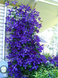 Climbing Clematis Vine  Perennial Flower Seed 100 Pcs - Lovely Seeds