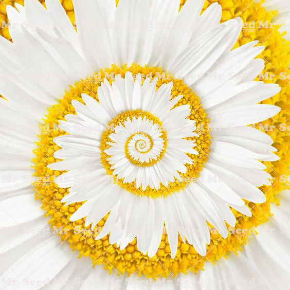 A Miracle Daisy seeds 30pcs - White - Lovely Seeds