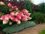 Vanilla Strawberry Hydrangea Flower Seeds 20pcs/bag for Home planting - Lovely Seeds
