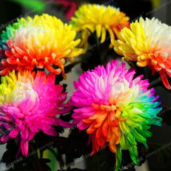 Chrysanthemum Seeds 100pcs/bag Aster Flower Bonsai Rainbow Perennial - Lovely Seeds