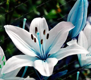 Lily flower Seeds 50pcs - Blue - Lovely Seeds