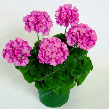 Geranium Seeds Two-color Rare Variegated 100pcs Potted Winter Garden Flower - Lovely Seeds