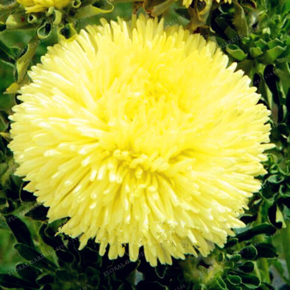 Aster Flower Seeds 100pcs Rainbow Chrysanthemum Seeds Perennial - Lovely Seeds
