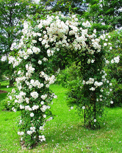 Rose climbing rose seeds 100pcs - Lovely Seeds