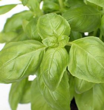 Basil Seeds - Packaging 100 Seeds - Lovely Seeds