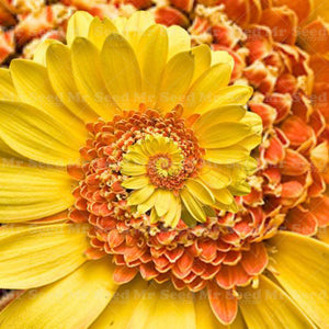 A Miracle Daisy seeds 30pcs - Yellow - Lovely Seeds