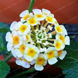 Lantana Camara plant seed 50pcs Perennial Gorgeous Flower - Lovely Seeds