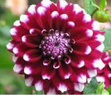 Dahlias seeds 20pcs - Lovely Seeds