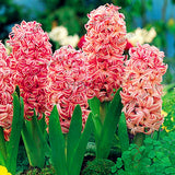 Hyacinth Orientals Seeds 100pcs Potted Balcony Flower Seed DIY Home Garden - Lovely Seeds