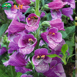 Foxglove flower seeds 10pcs - various colors available - Lovely Seeds