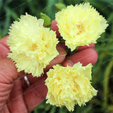 Dianthus Caryophyllus Flower Seeds 100 Pcs - Lovely Seeds
