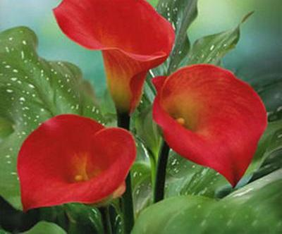 Calla Lily Flower Seed Spring And Winter Seasons Set An Indoor
