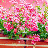 Geranium seed 100pcs Pelargonium Peltatum Seeds for home garden - Lovely Seeds