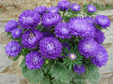Aster Chrysanthemumflower seeds 200pcs - Lovely Seeds
