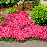 ROCK Cress Seeds 200pcs Climbing plant Creeping Thyme Seeds Ground cover - Lovely Seeds