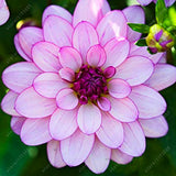 Dahlia Seeds 20pcs Mixed Colors Beautiful Flower Seeds for DIY Home Garden - Lovely Seeds