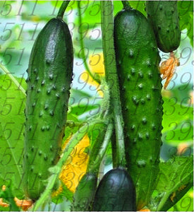 Cucumber seeds 100pcs for home garden - Lovely Seeds