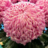 Chinese mum Seeds Perennial Flower Seeds Indoor Plants 200pcs - Lovely Seeds
