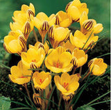 Saffron Flower Seeds 20pcs - Lovely Seeds