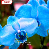 Orchid 9 Varieties Phalaenopsis Seeds 50pcs/bag - Lovely Seeds