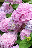 Hydrangea seeds 20pcs/bag bonsai flower seeds China hydrangea perennial garden flowers seeds - Lovely Seeds