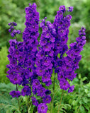 Delphinium Grandiflorum Seeds 50pcs - Lovely Seeds