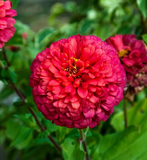 Stratified Edwardian Zinnia Seeds 50pcs - Lovely Seeds