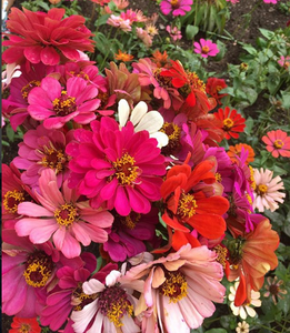 Zinnia Seeds California Giants 3000 Seeds - Lovely Seeds